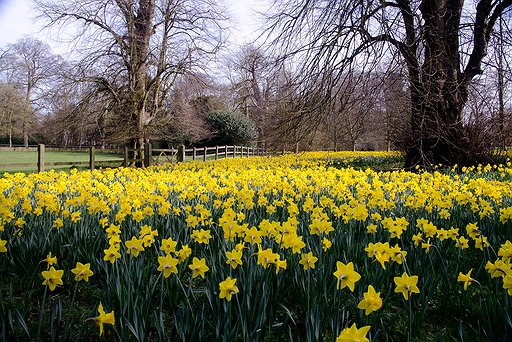 Daffodils at Hartwell