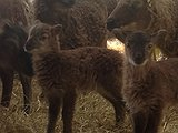 New born Soay Lamb