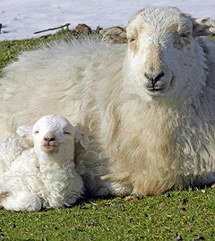 Sheep & Slate